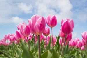 Des astuces pour bien planter et entretenir les tulipes